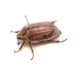 Vancouver's European Chafer Beetle Epidemic